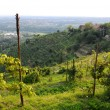 Landscape with Vineyards in Brianza, Montevecchia, Lombardy, Italy — Stock Photo