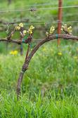 Druvor växt — Stockfoto