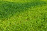 Tło zielone pole — Zdjęcie stockowe