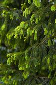 Coniferous tree branches — Stock Photo