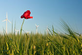 Red poppy flower in field of crop with wind turbines — Stock Photo