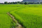 Paddy Rice Fields — 图库照片