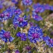 Cornflower — Stock Photo #36069239