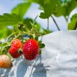 Stock Photo: Strawberry in farm
