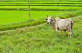 Cow in rice field landscape — Stock Photo