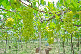 Grape garden — Stock Photo