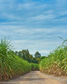Road in sugarcane field — Stock Photo