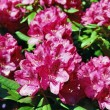 Stock Photo: Blooming rhododendron