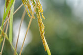 Close up of paddy rice — Foto Stock