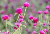 Flor de amaranto de globo — Foto de Stock