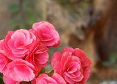 Begonia flower — Stock Photo