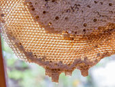 Honeycomb with honey and young bee  — Stock Photo