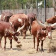 Watusi Bull — Stock Photo