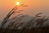 Silhouette of grass at sunrise — Stock Photo