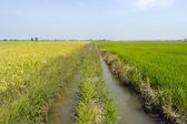 Green Jasmine rice fields Thailand — Stock Photo