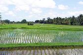 Rice paddies field, Ubud, bali, Indonesia — Stock Photo