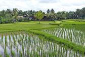 田んぼ、ウブド、バリ、インドネシア — ストック写真