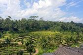 Green rice terraces at Bali — Stock Photo