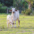 Thai mother cow with young calf resting in a field — Stockfoto