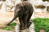 Elefantino in zoo di chiang mai, thailandia — Foto Stock