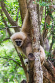 Gibbon in Chiangmai Zoo , Thailand — Stock Photo