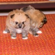 Two Little fluffy Pomeranian puppy — Stockfoto