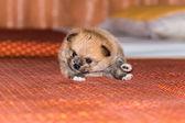 Petit chiot poméranien moelleux — Photo