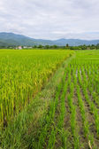 Ridge, mountain and rice field in Thailand — Стоковое фото