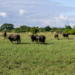 Masses Buffalo And tilted in Grass — Stock Photo #35928237