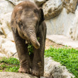 Baby elephant in Chiangmai Zoo , Thailand — Stock Photo