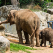 Stock Photo: Mother and baby elephant in Chiangmai Zoo , Thailand