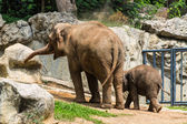 Mother and baby elephant in Chiangmai Zoo , Thailand — Stock Photo