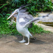 Swan wings in Chiangmai Zoo , Thailand — Stock Photo