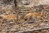 Two Small deer in Chiangmai Zoo , Thailand — Stock Photo