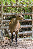 Young goitered gazelle looking suspicious in Chiangmai Zoo — Stock Photo