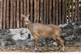 Young goitered gazelle looking suspicious in Chiangmai Zoo , Tha — Stock Photo