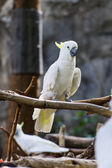 Cockatiel in Chiangmai Zoo , Thailand — Stock Photo