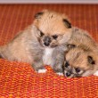 Two Little fluffy Pomeranian puppy — Stock Photo #35992643