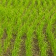 Clump of rice in Chomthong , Chiangmai Thailand — Stock Photo #35993103