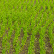 Clump of rice in Chomthong , Chiangmai Thailand — Stock Photo #35993165