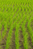 Clump of rice in Chomthong , Chiangmai Thailand — Stock Photo