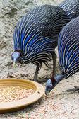 Blue Turkey eating — Stock Photo