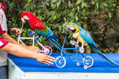 Parrot cycling in Chiangmai Zoo , Thailand — Stock Photo