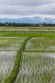 Ridge And Rice field in Chiangmai , Northen Thailand — Stock Photo