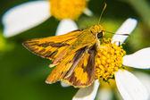 小さな花の摂食蝶 — ストック写真