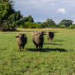 Masses Buffalo And tilted in Grass — Stock Photo #36266131