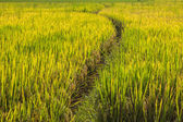 Wallpaper golden paddy — Stockfoto