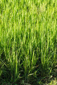 Crop and Rice Field — Stock Photo
