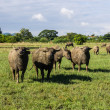 Masses Buffalo And tilted in Grass — Stock Photo #36400379
