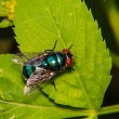 Blue fly — Stock Photo